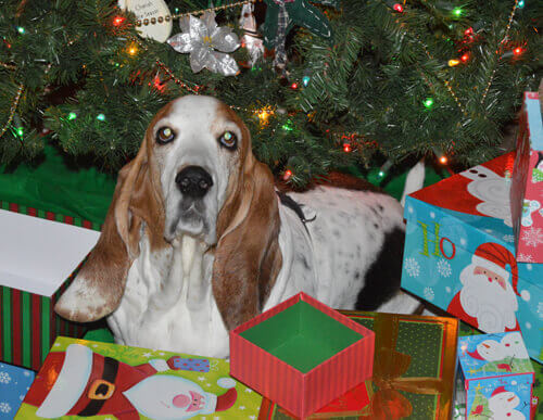 basset with Christmas tree